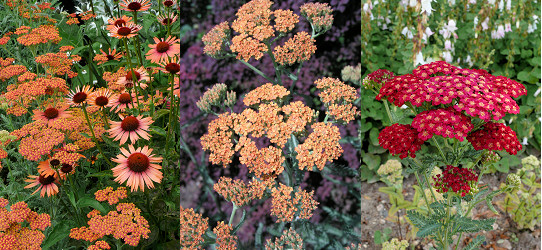 Achillea Apricot Beauty s Echinaceou, Terracota, Red Velvet